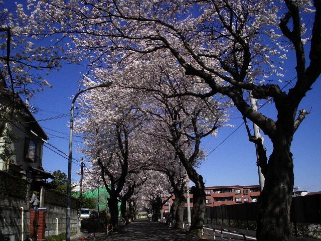 photo_080401_sakura_1.jpg