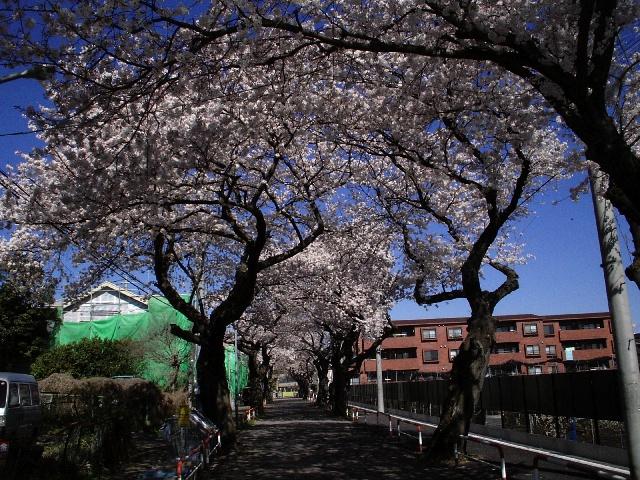 photo_080401_sakura_2.jpg